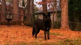 It looks like a dog... but it's not. Authorities warn pet owners about unusual coyote