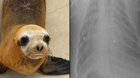 Sea lion shot with pellet gun forced to be humanely euthanized due to injuries