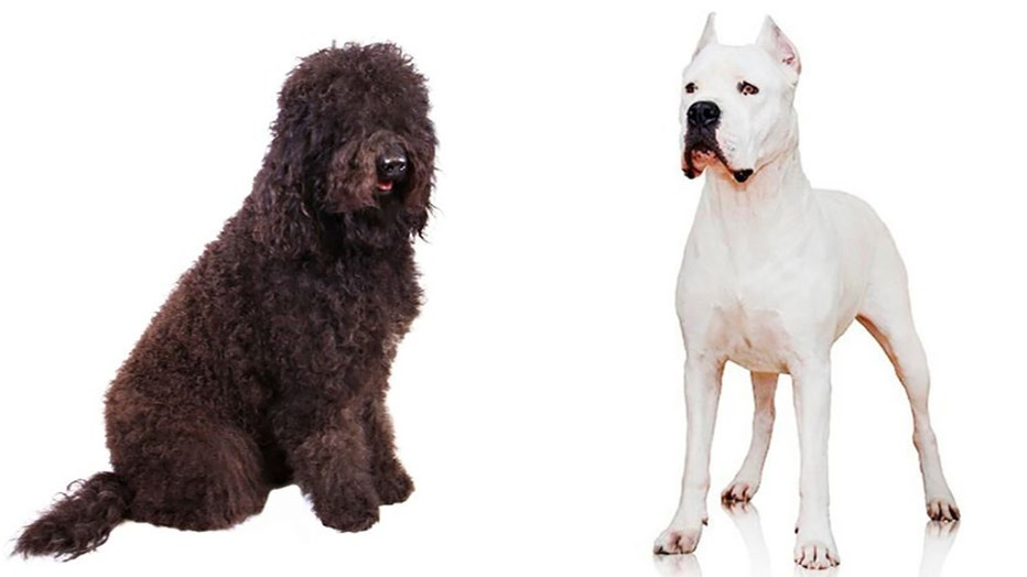 AKC-TWO-NEW-DOG-BREEDS.jpg