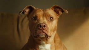 Denver mayor will veto legislation that would have ended the city's ban on pit bulls