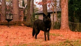 Rare black coyote has people watching their pets more closely