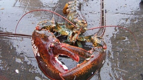 Lobster blood could play role in new drugs