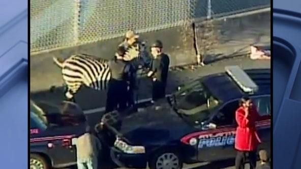 10 years ago: Escaped Zebra roams interstate in Atlanta