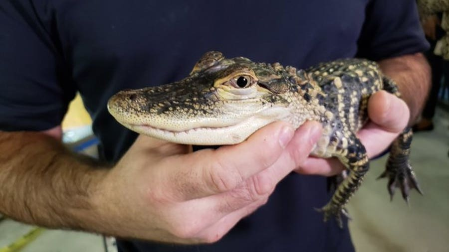 Georgia Aquarium gallery grows for gators