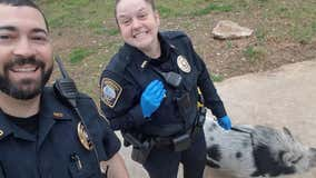 Brookhaven police nab pig perpetrator