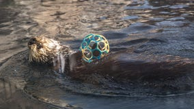 Otter livestream by California aquarium brings 'pawsitivity' during coronavirus pandemic