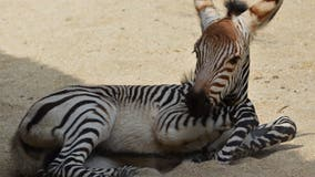 Disney's Animal Kingdom welcomes in baby zebra