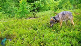 Researchers observe wolf feeding blueberries to her pups for first time in northern Minnesota