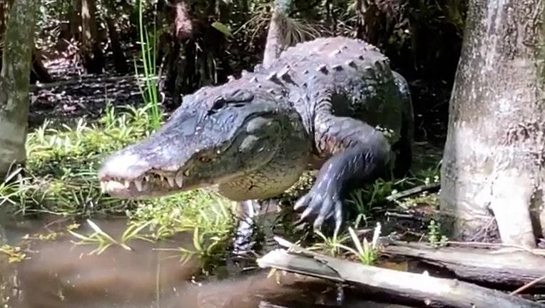 snaggletooth alligator conny randolph big cypress gallery