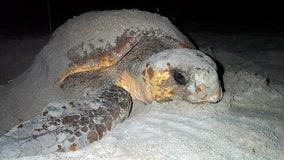 Federally protected sea turtles begin nesting in Georgia