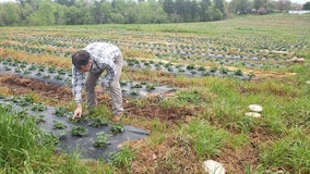 Farmers worry who will pick GA fruits and vegetables during pandemic