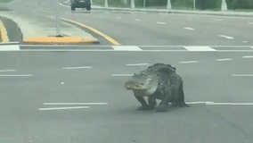 Massive alligator crosses through middle of Seffner intersection