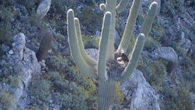 Bald eagles, eaglets found nesting in arms of Arizona saguaro cactus