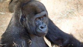 Zoo Atlanta holds virtual Gorilla Egg Hunt Saturday