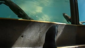 Adventurous penguin meets Oregon Zoo otters