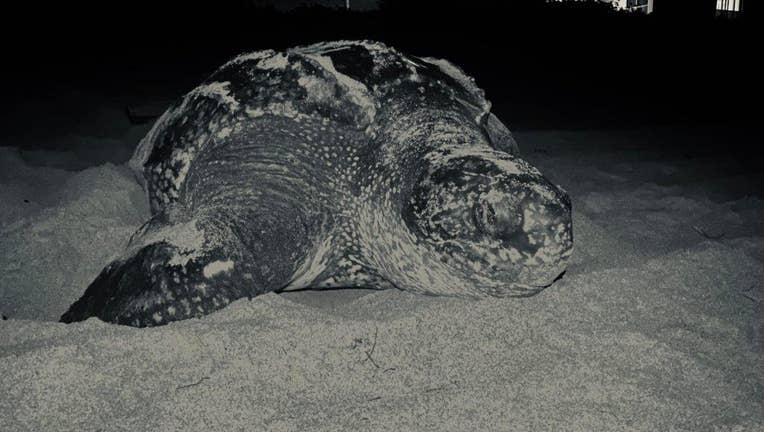 e4a73a31-loggerhead turtle