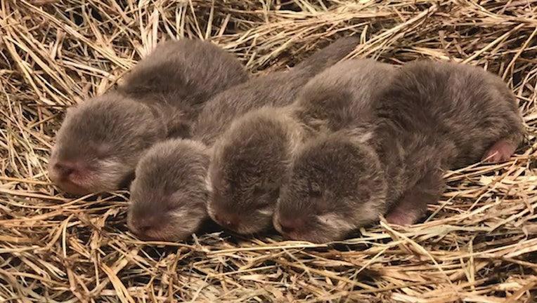 jacksonville baby otters