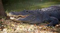 Alligator rumored to have been Hitler's dies in Russia