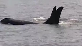 Coast Guard officers get close-up view of orcas