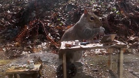 Squirrel captured on video 'working from home' on tiny laptop in miniature office