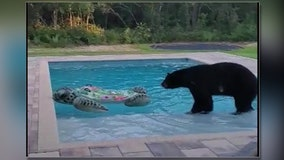 Curious bear takes dip in Citrus County pool