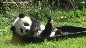 Baby panda splashes around at Berlin Zoo