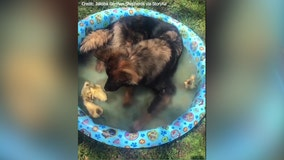 Ducklings and German Shepherd make for unlikely 'pool party' pals