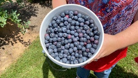 Charity needs volunteers to harvest blueberries for families in need