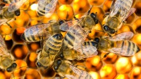 US honeybees are doing better after bad year, according to survey