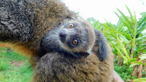 Endangered mongoose lemur recently born at Zoo Miami
