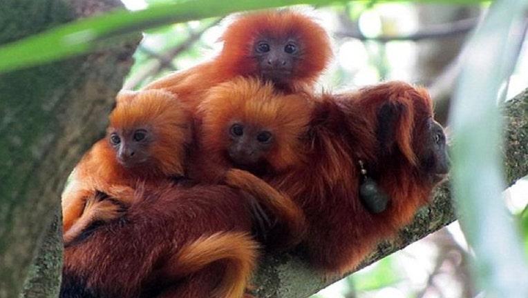 Golden-Lion-Tamarind-Triplets