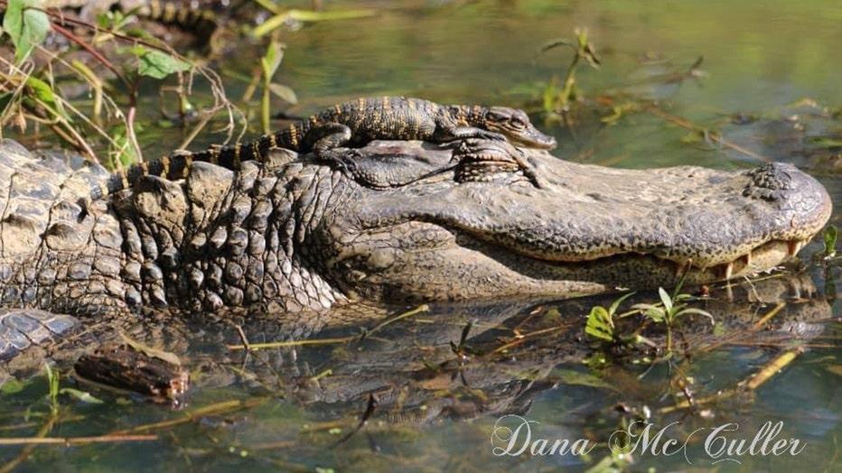 baby-and-mama-gator-2.jpg