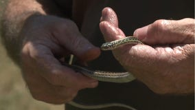 Woman finds dozens of snakes in apartment after building renovations