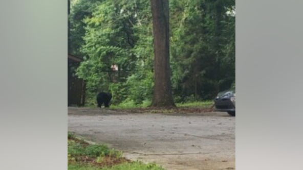 Large black bear spotted in Marietta
