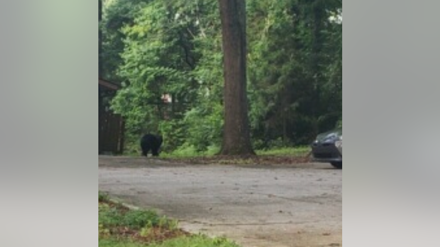 Bear safely tranquilized, return to habitat after being spotted near Marietta park
