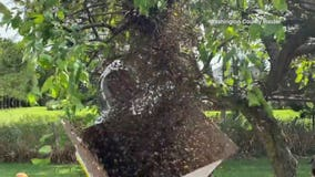 Father-daughter beekeeping duo collect swarm from Town of West Bend yard