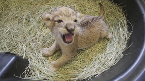 Triplet African lion cubs born at the Dallas Zoo