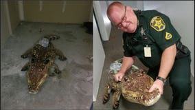 Polk deputy responds to call about alligator in shed, realizes it was a pool float