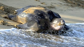 Stranded 700-pound sea turtle euthanized in Virginia