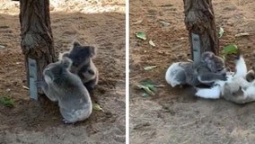 'Double Trouble': Baby koalas adorably wrestle at Australian wildlife sanctuary