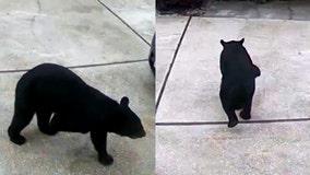 VIDEO: 3-legged bear takes Diet Coke from Central Florida garage