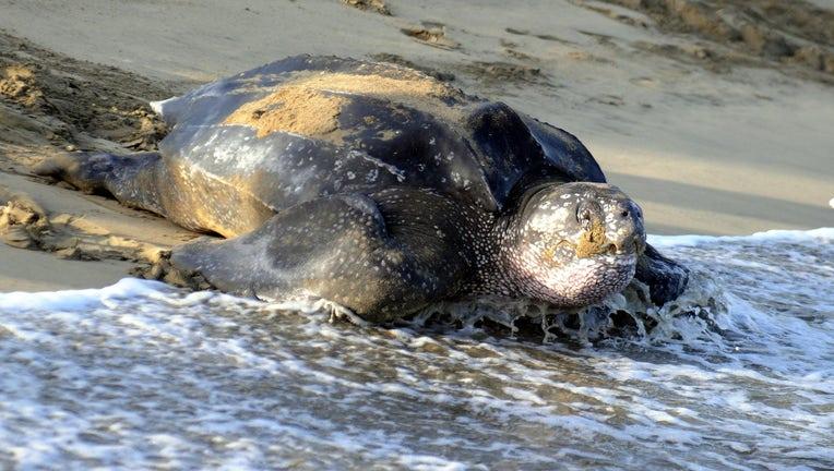 Leatherback sea turtle nesting