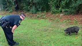 Georgia police searching for pair of runaway pigs