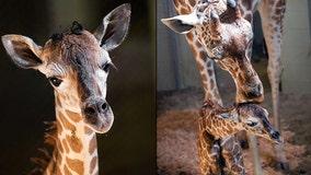 It's a girl! Colorado zoo welcomes baby giraffe