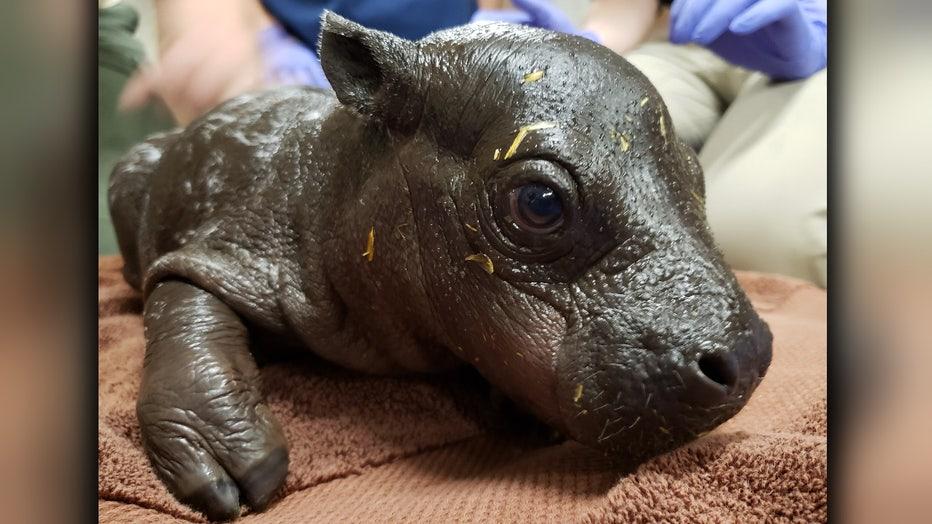 baby pygmy hippo 1