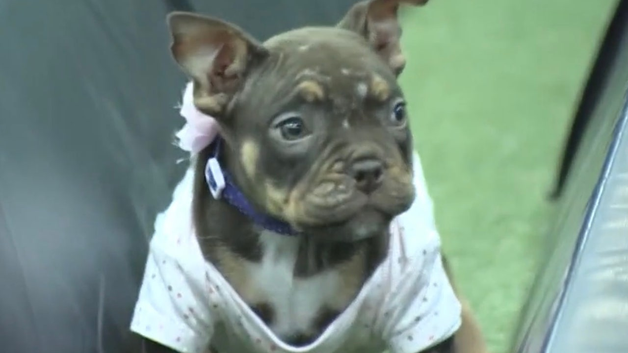 Paralyzed puppy from abusive home is thriving thanks...