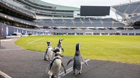 Shedd penguins go on 'field trip' to Soldier Field