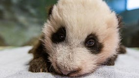 Giant baby panda cub turns 11-weeks old