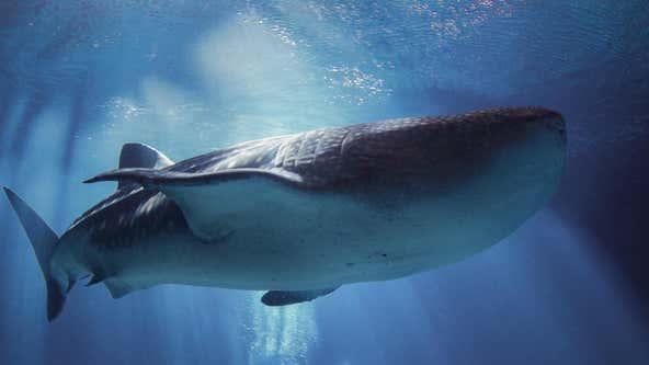 Georgia Aquarium mourns death of largest female whale shark