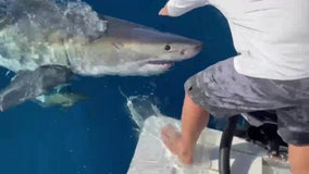 Great white shark bites boat in Gulf waters off Tampa Bay